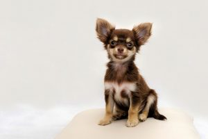 chihuahua-cachorro pelo largo