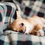 cachorro chihuahua marrón