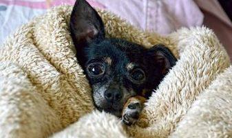 perrito acostado chihuahua