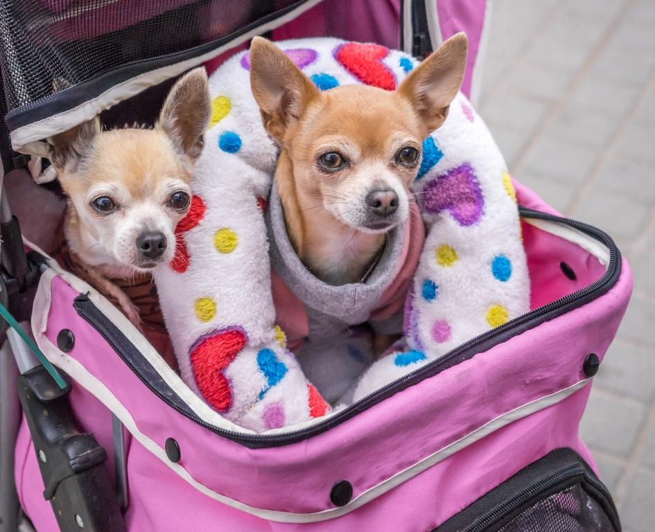 Chihuahuas en carro para perros mini toy
