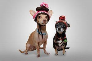 Chihuahuas disfrazados