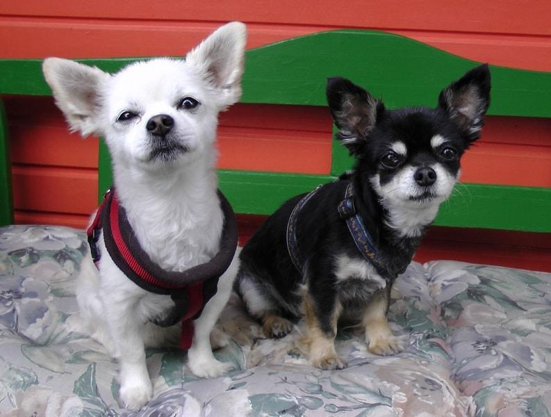 pareja de chihuahuas