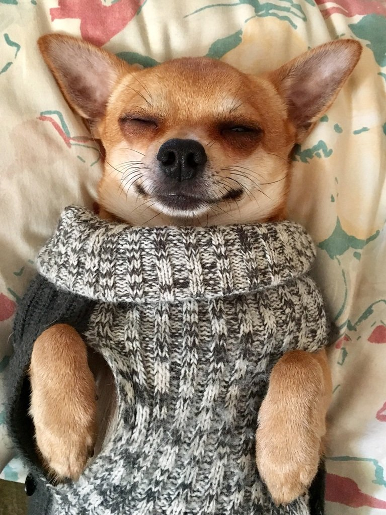 chihuaua feliz