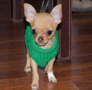 Chihuahua jersey verde