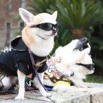 nombres para Chihuahuas