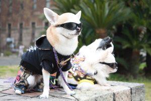 chihuahuas rockeros